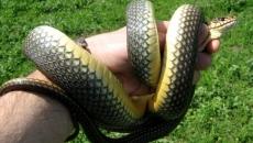 şarpe