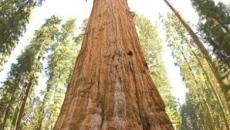 cel mai mare copac din lume