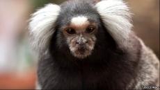 saguin maimuta