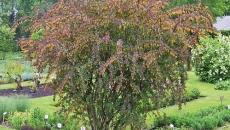planta dracila