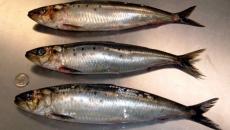 sardine vii