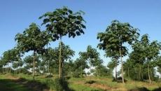 copacul kiri