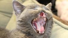lazarus.pisica