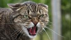 pisica agresiva