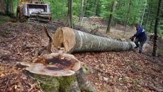 arbori taiati